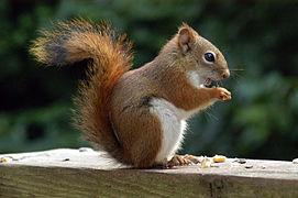 AmericanRedSquirrel